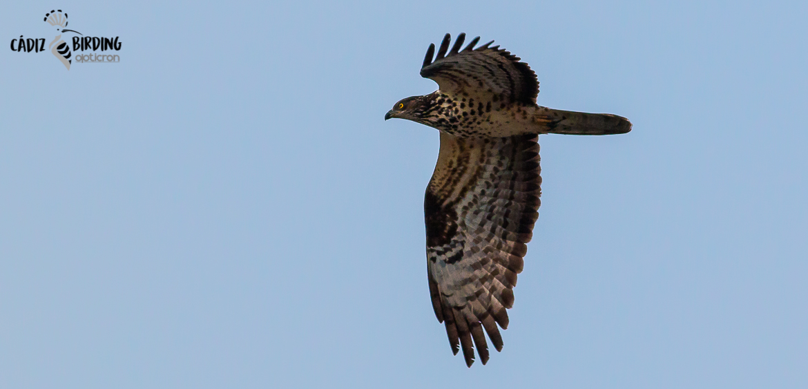 HONEY BUZZARD SPRING MIGRATION-image-6