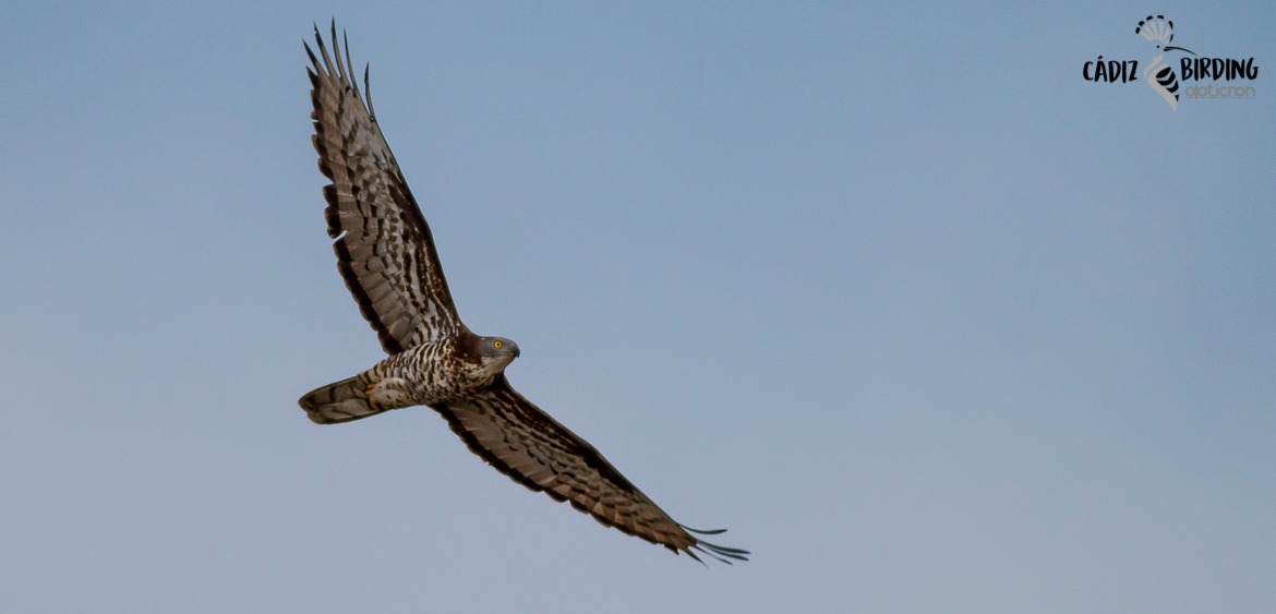 HONEY BUZZARD SPRING MIGRATION-image-5