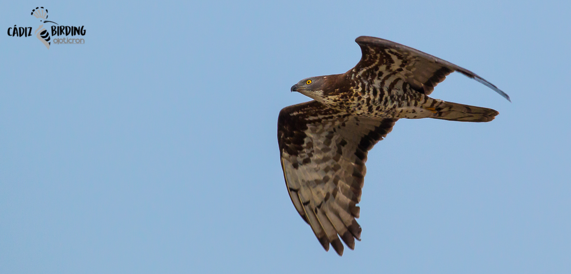 HONEY BUZZARD SPRING MIGRATION-image-4