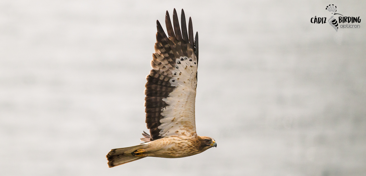 RAPTOR MIGRATION AT THE STRAIT OF GIBRALTAR, SPRING-image-6