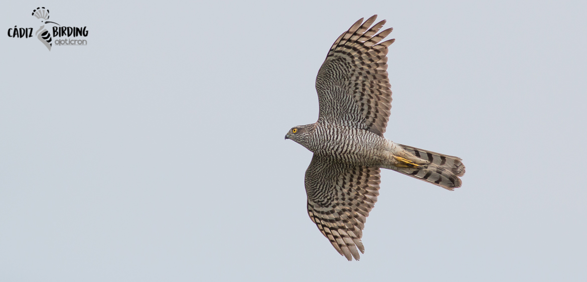 RAPTOR MIGRATION AT THE STRAIT OF GIBRALTAR, SPRING-image-5